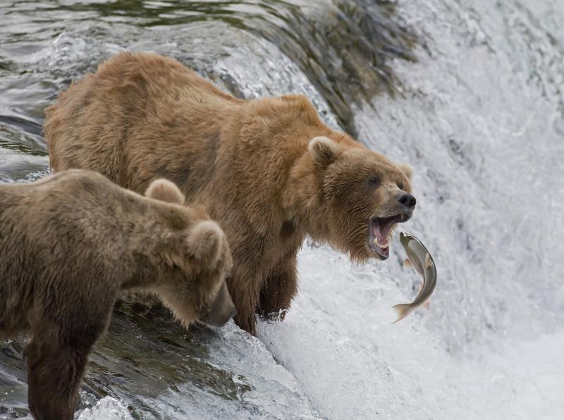 ours-en-train-de-chasser-le-saumon