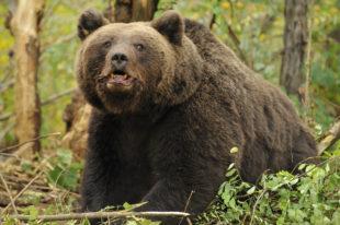5 Lucruri pe care sa le iei in considerare cand intalnesti un urs